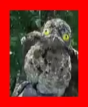 怒り新党,新三大・詐欺師みたいな動物,タチヨタカの変身前